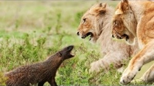 Video: Brave and Fearless Animals Fighting Back Compilation - Amazing Footage